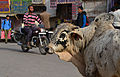 Cow in Jaisalmer.jpg