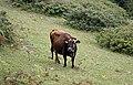 Cow in Kümbet, Giresun 2018-08-16 04.jpg