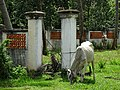 Cows around Gates of Derelict Property - Kep - Cambodia (48543461887).jpg