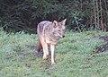 Coyote (15244115123).jpg
