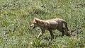 Coyote pups Bear Trail Angel Fire NM 2021-06-03 10-50-09 (51224178225).jpg