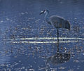 Crane (color) (4323768982).jpg