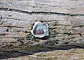 Crassostrea virginica (eastern oyster) encrusting a log (Cayo Costa Island, Florida, USA) 3 (26352223415).jpg