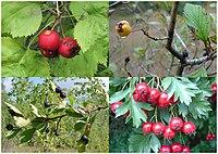 Crataegus, various species, fruit