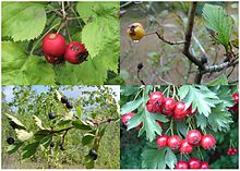 Fruit of four different species of Crataegus