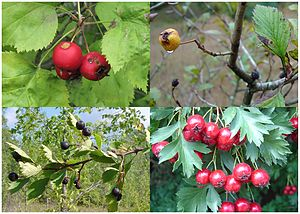 Crataegus - Fruit of four different species of Crataegus (clockwise from top left: C. coccinea, C. punctata, C. ambigua and C. douglasii)