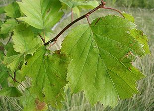 Crataegus-intricata-leaves.JPG