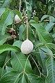 Crateva religiosa - Sacred Garlic Pear - at Chooliyad 2014 (2).jpg