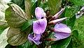 Cratylia hypargyrea Mart. ex Benth. (14229549866).jpg