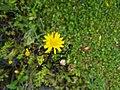 Crepis setosa inflorescence (39).jpg