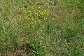 Crepis setosa plant (05).jpg