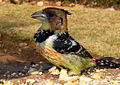 Crested barbet again (5915820435).jpg