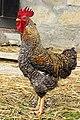 Croatia-00676 - Rooster (9370348263).jpg