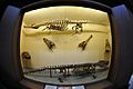 Crocodilian Skeletons and Skulls - Zoological Gallery - Indian Museum - Kolkata 2014-04-04 4366.JPG
