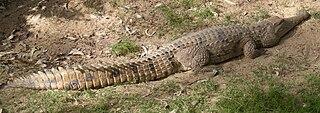 Freshwater crocodile species of reptile