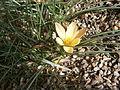 Crocus angustifolius 02.JPG