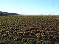 Crops on Bake Farm - geograph.org.uk - 294872.jpg