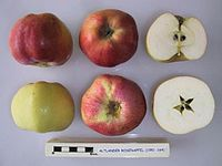 Cross section of Altlander Rosenapfel, National Fruit Collection (acc. 1951-164).jpg