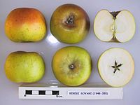 Cross section of Beregi Sovari, National Fruit Collection (acc. 1948-355).jpg