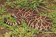 Crotalus oreganus oreganus sACRAMENTO (1 of 1).jpg