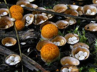 <i>Crucibulum</i> genus of fungi