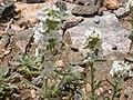 Cryptantha celosioides (4971852557).jpg