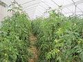 Cultivo comercial de Solanum lycopersicum.JPG