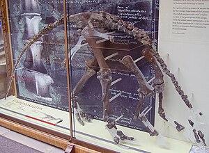 Cumnoria - Holotype skeleton, Oxford University Museum of Natural History