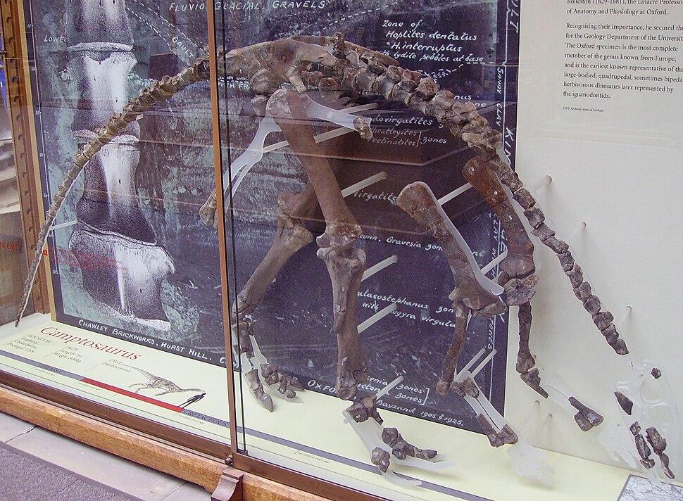 Cumnoria incomplete skeleton