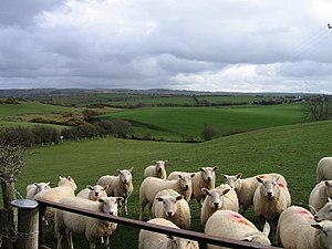 Sheep farming in Wales - Sheep in a field near Aberystwyth