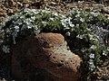 Cushion phlox, Phlox pulvinata in rocky embrace (22108405469).jpg