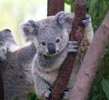 Cutest Koala.jpg