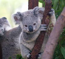 Un piccolo di Koala che si arrampica su un albero.