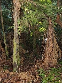 <i>Cyathea leichhardtiana</i>