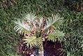 Cycas revoluta Neocaledonica 0zz.jpg