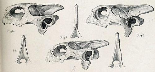 500px cylindraspis skulls