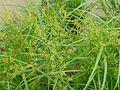 Cyperus iria (2725038340).jpg
