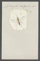 Cyrtocryptus - Print - Iconographia Zoologica - Special Collections University of Amsterdam - UBAINV0274 046 05 0041.tif