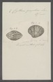 Cytherea graphica - - Print - Iconographia Zoologica - Special Collections University of Amsterdam - UBAINV0274 078 01 0007.tif