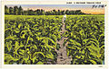 D-885. A Southern tobacco field (5756038806).jpg