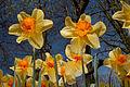 Daffodils (4543038697) (2).jpg