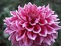 """Dahlia - """"Gilt Edge"""" cultivar.jpg"""