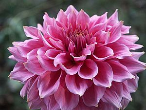 Pink wikipedia a pink dahlia mightylinksfo