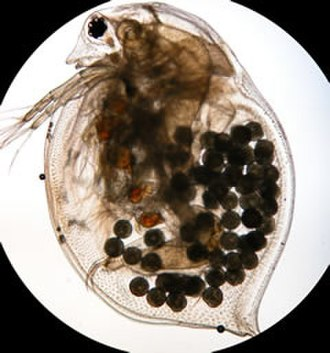Total dissolved solids - Daphnia magna with eggs
