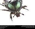 Dark Flower Scarab (Scarabaeidae, Euphoria sepulcralis) (27338652945).jpg