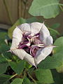 Datura metel Ballerina flower— Scott Zona 002.jpg