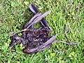 Dead bird (Blackbird?) (18043669474).jpg
