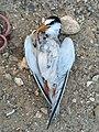 Dead little tern.jpg