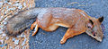Dead squirrel 3.jpg