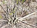 Dead stems from last year on ground. (7ef24d9d033e4118aaa77e0703aa2dd8).JPG